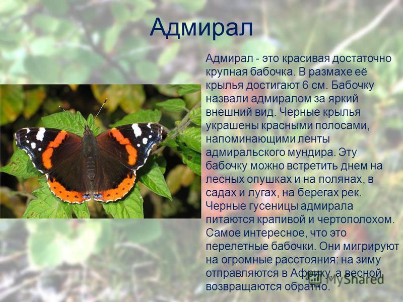 Адмирал Адмирал - это красивая достаточно крупная бабочка. В размахе её крылья достигают 6 см. Бабочку назвали адмиралом за яркий внешнии вид. Черные крылья украшены красными полосами, напоминающими ленты адмиральского мундира. Эту бабочку можно встр