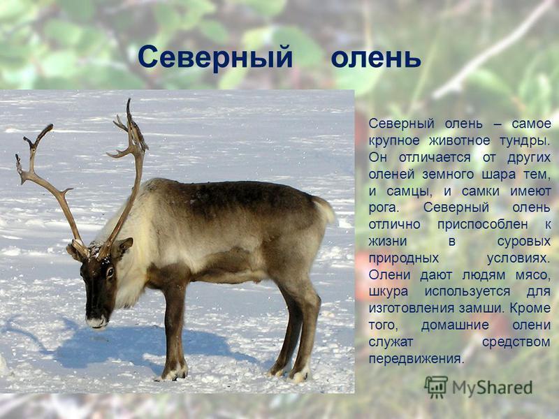 Северный олень Северный олень – самое крупное животное тундры. Он отличается от других оленей земного шара тем, и самцы, и самки имеют рога. Северный олень отлично приспособлен к жизни в суровых природных условиях. Олени дают людям мясо, шкура исполь