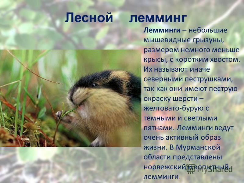 Лесной лемминг Лемминги – небольшие мышевидные грызуны, размером немного меньше крысы, с коротким хвостом. Их называют иначе северными пеструшками, так как они имеют пеструю окраску шерсти – желтовато-бурую с темными и светлыми пятнами. Лемминги веду