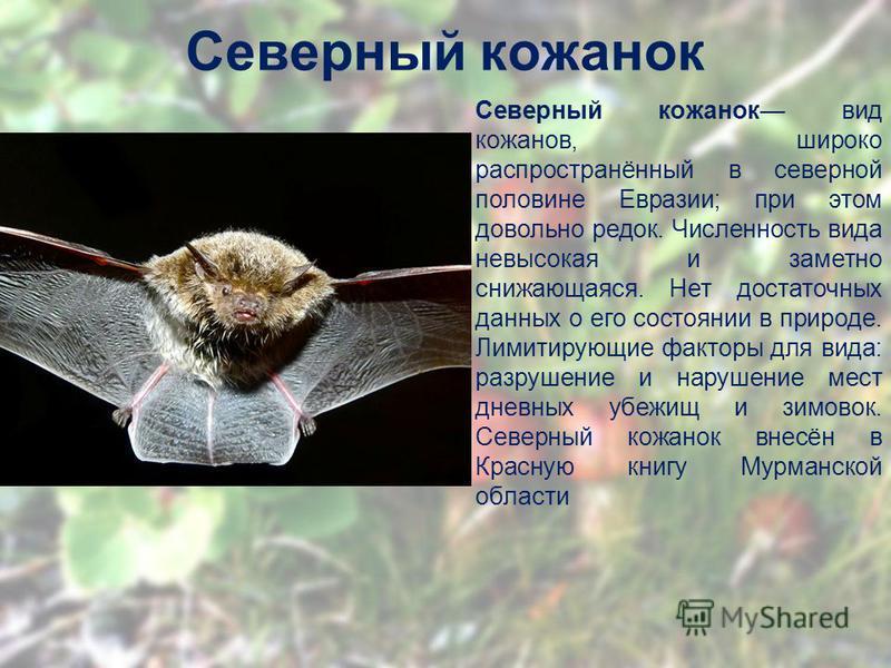 Северный кожанок Северный кожанок вид кожанов, широко распространённый в северной половине Евразии; при этом довольно редок. Численность вида невысокая и заметно снижающаяся. Нет достаточных данных о его состоянии в природе. Лимитирующие факторы для