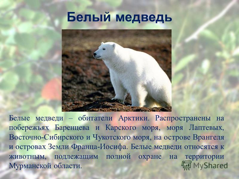 Белый медведь Белые медведи – обитатели Арктики. Распространены на побережьях Баренцева и Карского моря, моря Лаптевых, Восточно-Сибирского и Чукотского моря, на острове Врангеля и островах Земли Франца-Иосифа. Белые медведи относятся к животным, под