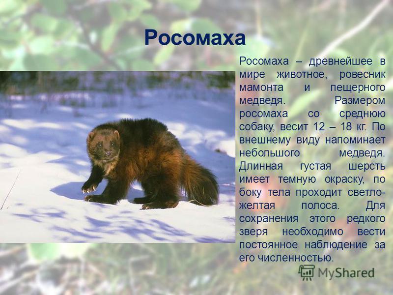 Росомаха Росомаха – древнейшее в мире животное, ровесник мамонта и пещерного медведя. Размером росомаха со среднюю собаку, весит 12 – 18 кг. По внешнему виду напоминает небольшого медведя. Длинная густая шерсть имеет темную окраску, по боку тела прох