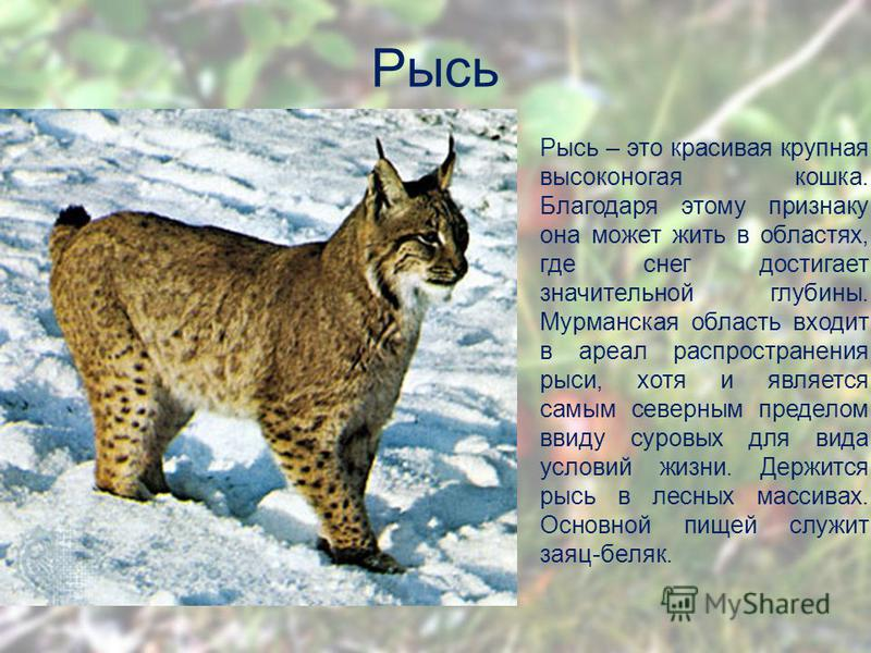Рысь Рысь – это красивая крупная высоконогая кошка. Благодаря этому признаку она может жить в областях, где снег достигает значительной глубины. Мурманская область входит в ареал распространения рыси, хотя и является самым северным пределом ввиду сур
