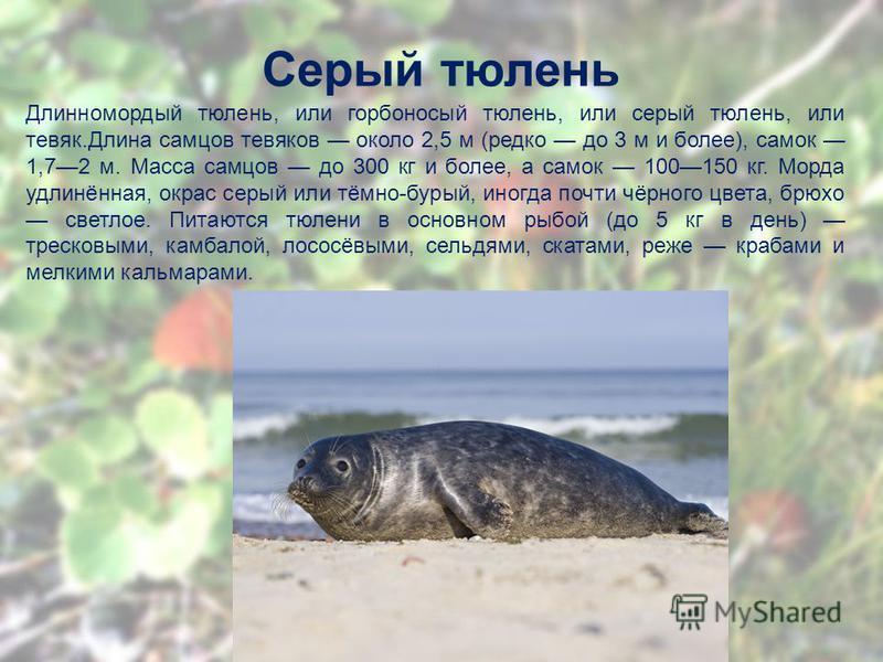 Серый тюлень Длинномордый тюлень, или горбоносый тюлень, или серый тюлень, или тевяк.Длина самцов тевяков около 2,5 м (редко до 3 м и более), самок 1,72 м. Масса самцов до 300 кг и более, а самок 100150 кг. Морда удлинённая, окрас серый или тёмно-бур
