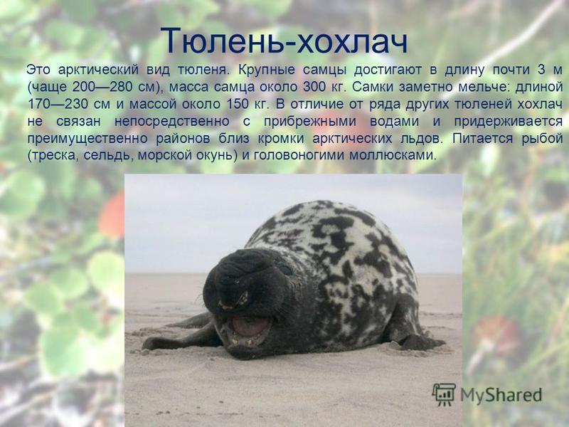 Тюлень-хохлач Это арктический вид тюленя. Крупные самцы достигают в длину почти 3 м (чаще 200280 см), масса самца около 300 кг. Самки заметно мельче: длиной 170230 см и массой около 150 кг. В отличие от ряда других тюленей хохлач не связан непосредст