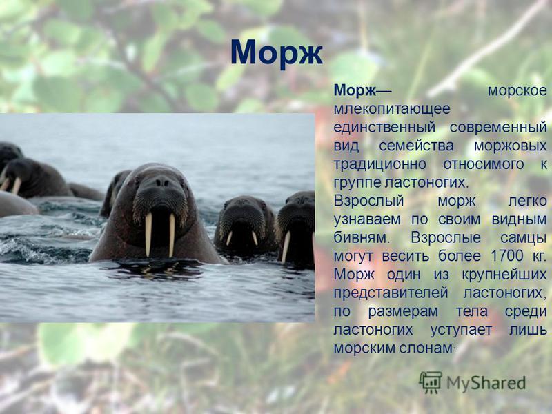 Морж Морж морское млекопитающее единственный современный вид семейства моржовых традиционно относимого к группе ластоногих. Взрослый морж легко узнаваем по своим видным бивням. Взрослые самцы могут весить более 1700 кг. Морж один из крупнейших предст