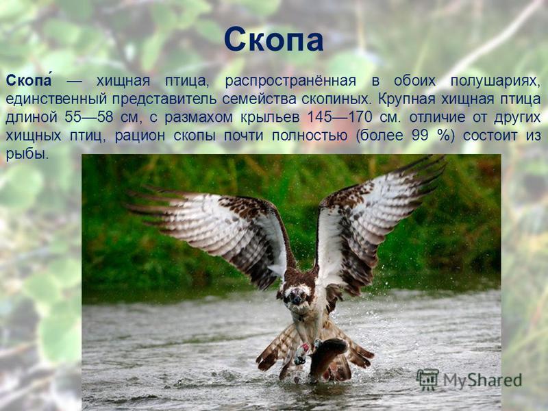 Скопа Скопа́ хищная птица, распространённая в обоих полушариях, единственный представитель семейства скопиных. Крупная хищная птица длиной 5558 см, с размахом крыльев 145170 см. отличие от других хищных птиц, рацион скопы почти полностью (более 99 %)
