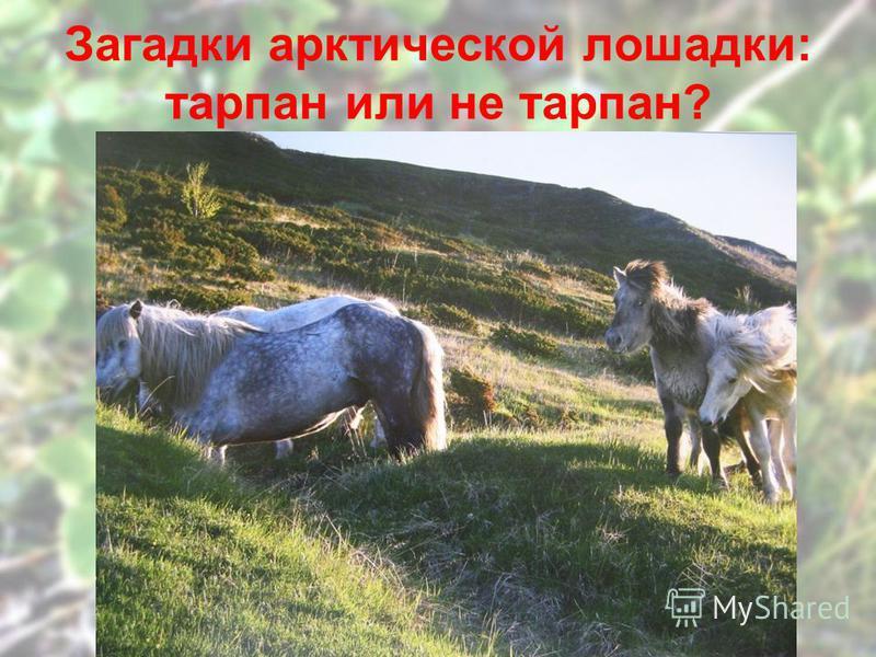 Загадки арктической лошадки: тарпан или не тарпан?