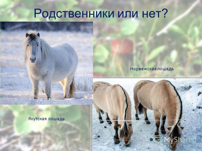 Родственники или нет? Якутская лошадь Норвежская лошадь