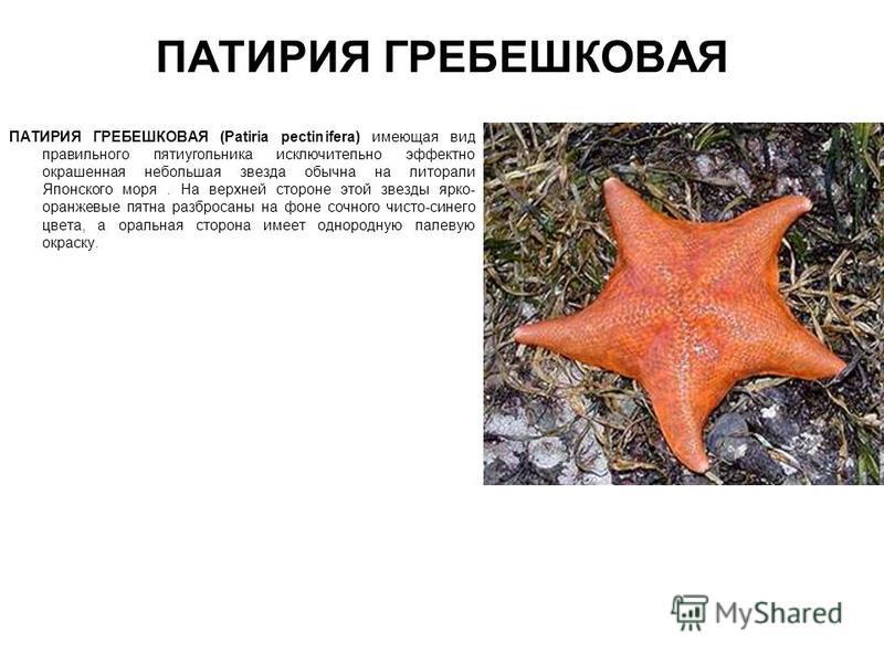 ПАТИРИЯ ГРЕБЕШКОВАЯ ПАТИРИЯ ГРЕБЕШКОВАЯ (Patiria pectinifera) имеющая вид правильного пятиугольника исключительно эффектно окрашенная небольшая звезда обычна на литорали Японского моря. На верхней стороне этой звезды ярко- оранжевые пятна разбросаны