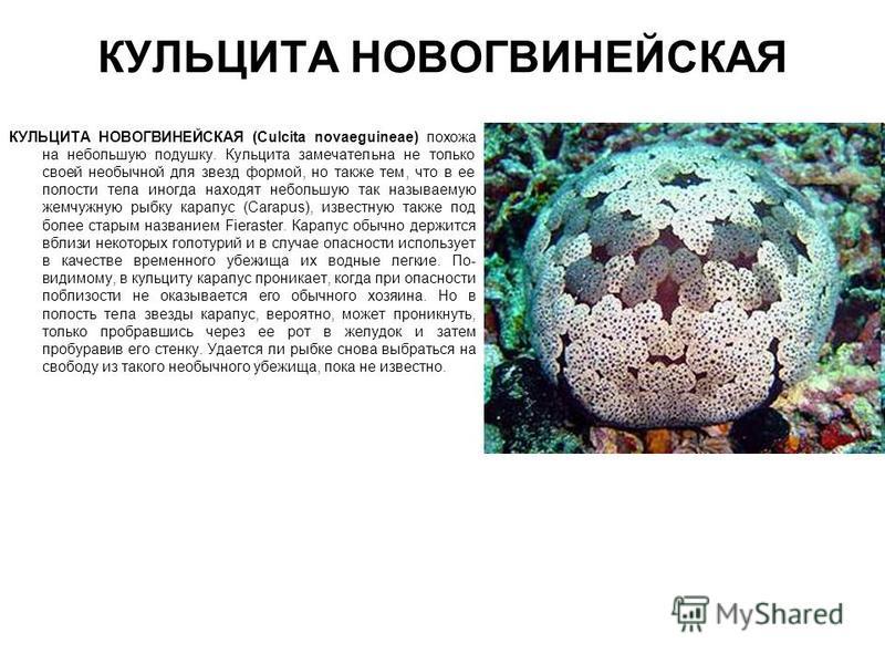 КУЛЬЦИТА НОВОГВИНЕЙСКАЯ КУЛЬЦИТА НОВОГВИНЕЙСКАЯ (Culcita novaeguineae) похожа на небольшую подушку. Кульцита замечательна не только своей необычной для звезд формой, но также тем, что в ее полости тела иногда находят небольшую так называемую жемчужну