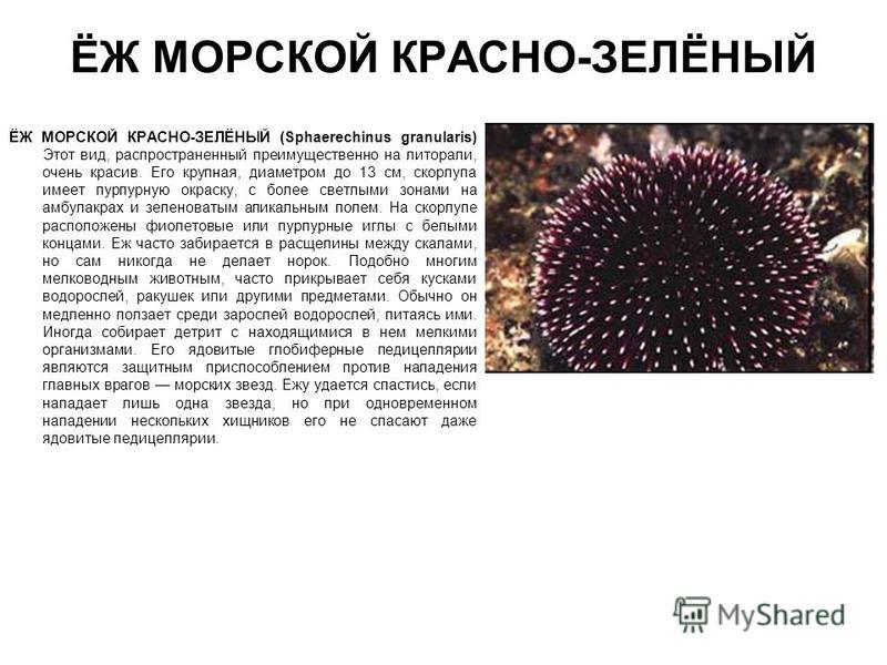 ЁЖ МОРСКОЙ КРАСНО-ЗЕЛЁНЫЙ ЁЖ МОРСКОЙ КРАСНО-ЗЕЛЁНЫЙ (Sphaerechinus granularis) Этот вид, распространенный преимущественно на литорали, очень красив. Его крупная, диаметром до 13 см, скорлупа имеет пурпурную окраску, с более светлыми зонами на амбулак