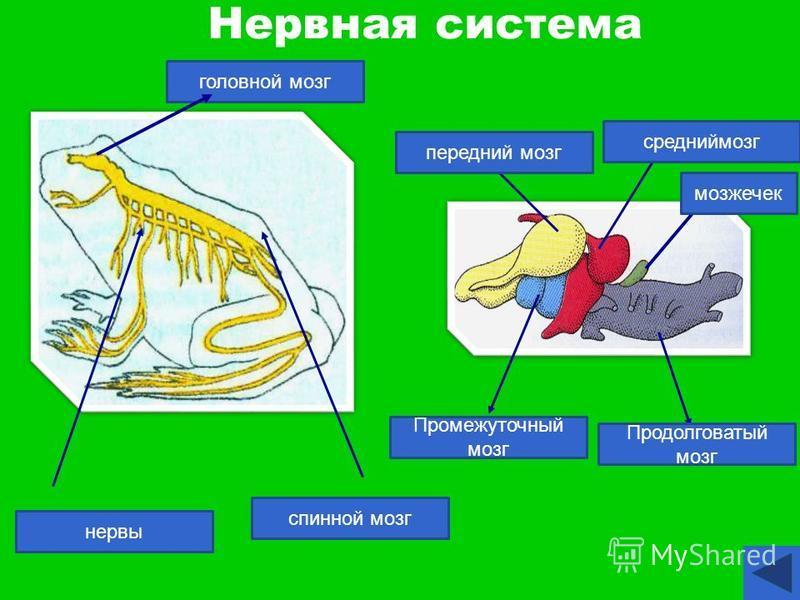 Нервная система передний Продолговатый мозг мозжечок передний мозг средний мозг Промежуточный мозг спинной мозг нервы головной мозг