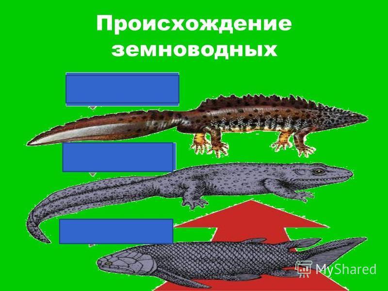 Происхождение земноводных Современные амфибии Стегоцефалы Кистеперые рыбы
