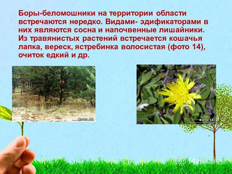 Боры-беломошники на территории области встречаются нередко. Видами- эдификаторами в них являются сосна и напочвенные лишайники. Из травянистых растений встречается кошачья лапка, вереск, ястребинка волосистая (фото 14), очиток едкий и др.