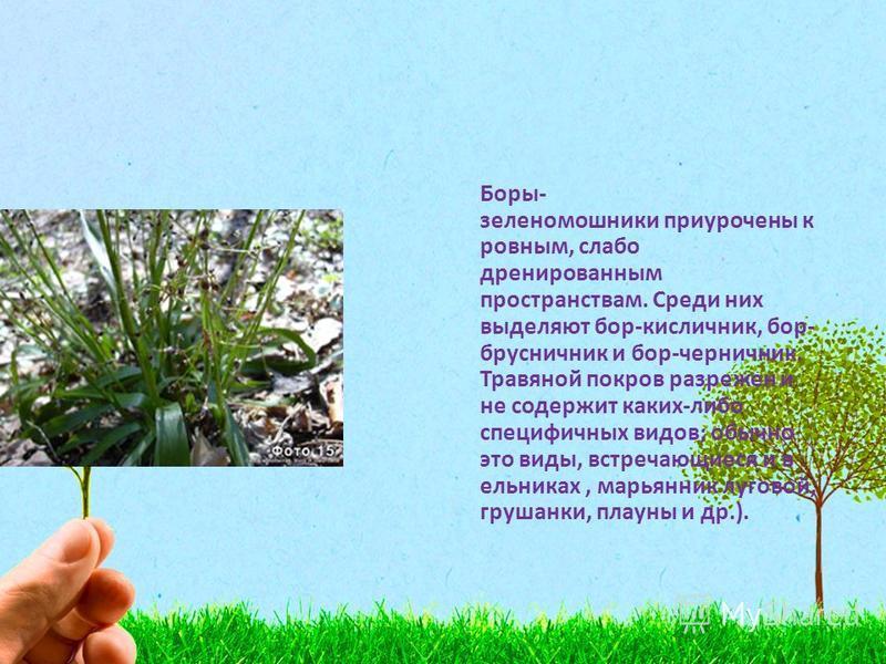 Боры- зеленомошники приурочены к ровным, слабо дренированным пространствам. Среди них выделяют бор-кисличник, бор- брусничник и бор-черничник. Травяной покров разрежен и не содержит каких-либо специфичных видов; обычно это виды, встречающиеся и в ель