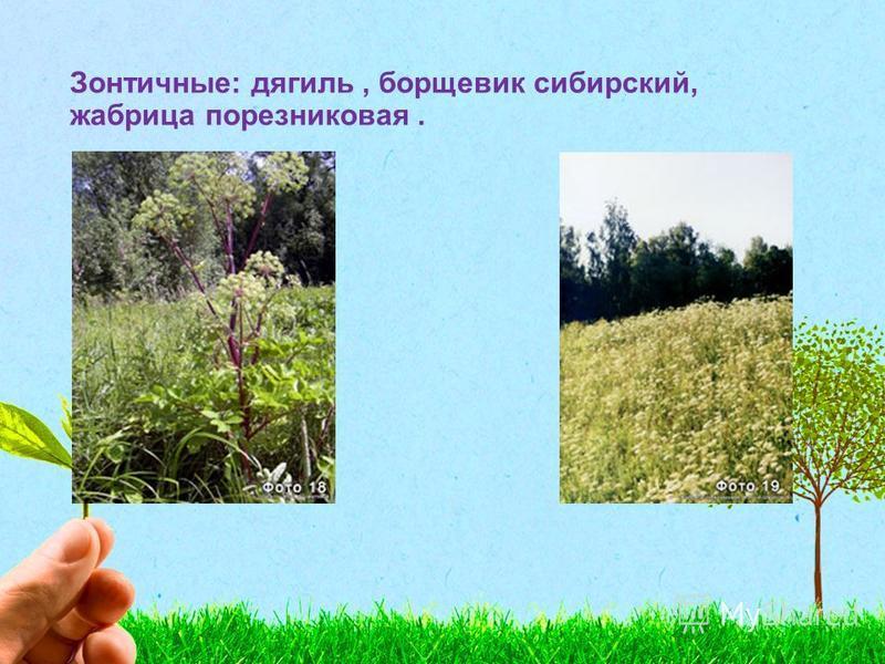 Зонтичные: дягиль, борщевик сибирский, жабрица порезниковая.