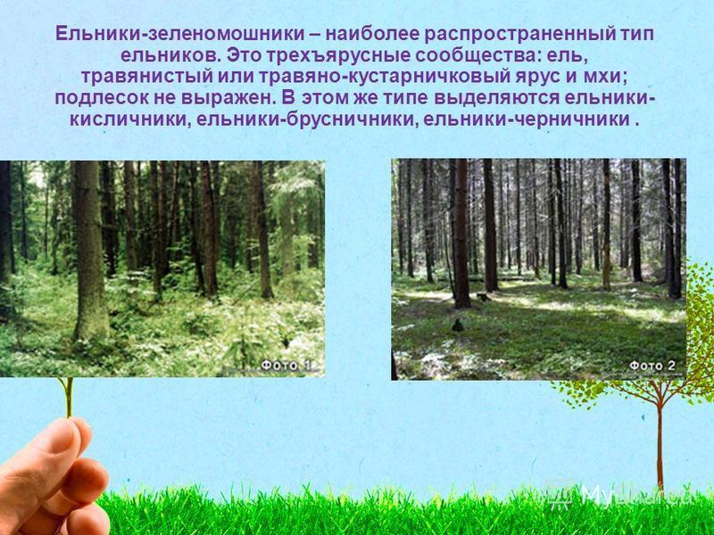 Ельники-зеленомошники – наиболее распространенный тип ельников. Это трехъярусные сообщества: ель, травянистый или травяно-кустарничковый ярус и мхи; подлесок не выражен. В этом же типе выделяются ельники- кисличники, ельники-брусничники, ельники-черн