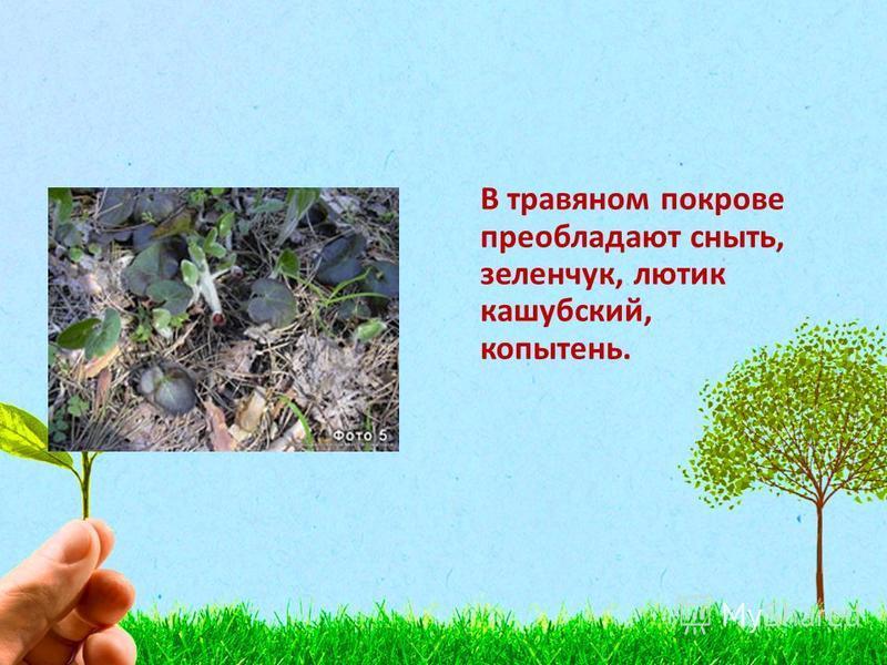 В травяном покрове преобладают сныть, зеленчук, лютик кашубский, копытень.