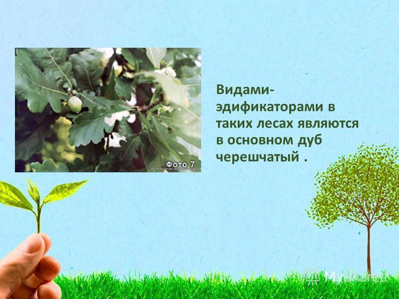 Видами- эдификаторами в таких лесах являются в основном дуб черешчатый.