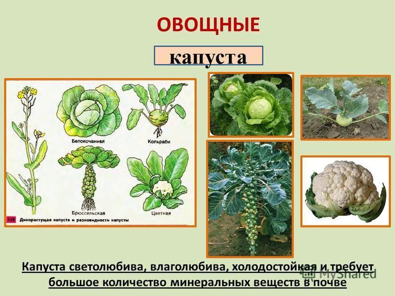 ОВОЩНЫЕ капуста Капуста светолюбива, влаголюбива, холодостойкая и требует большое количество минеральных веществ в почве