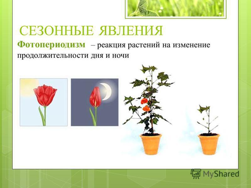 Фотопериодизм – реакция растений на изменение продолжительности дня и ночи СЕЗОННЫЕ ЯВЛЕНИЯ