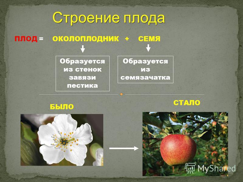 ПЛОД = ОКОЛОПЛОДНИК + СЕМЯ Образуется из стенок завязи пестика Образуется из семязачатка Строение плода БЫЛО СТАЛО