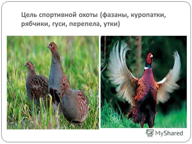 Цель спортивной охоты ( фазаны, куропатки, рябчики, гуси, перепела, утки )