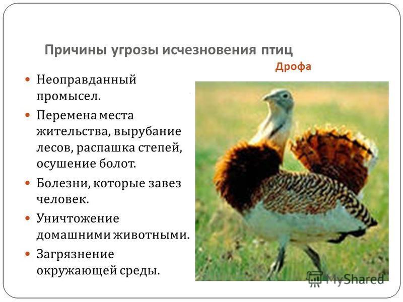 Причины угрозы исчезновения птиц, Дрофа Неоправданный промысел. Перемена места жительства, вырубание лесов, распашка степей, осушение болот. Болезни, которые завез человек. Уничтожение домашними животными. Загрязнение окружающей среды.