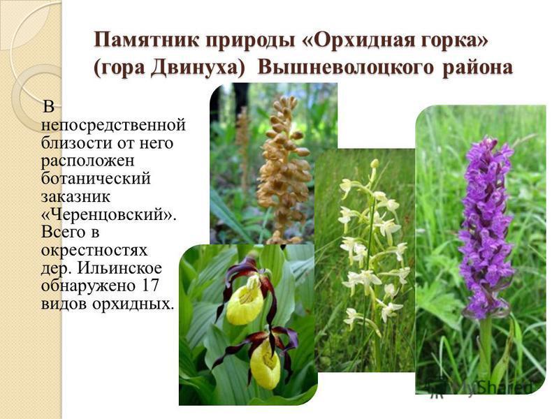 Памятник природы «Орхидная горка» (гора Двинуха) Вышневолоцкого района В непосредственной близости от него расположен ботанический заказник «Черенцовский». Всего в окрестностях дер. Ильинское обнаружено 17 видов орхидных.