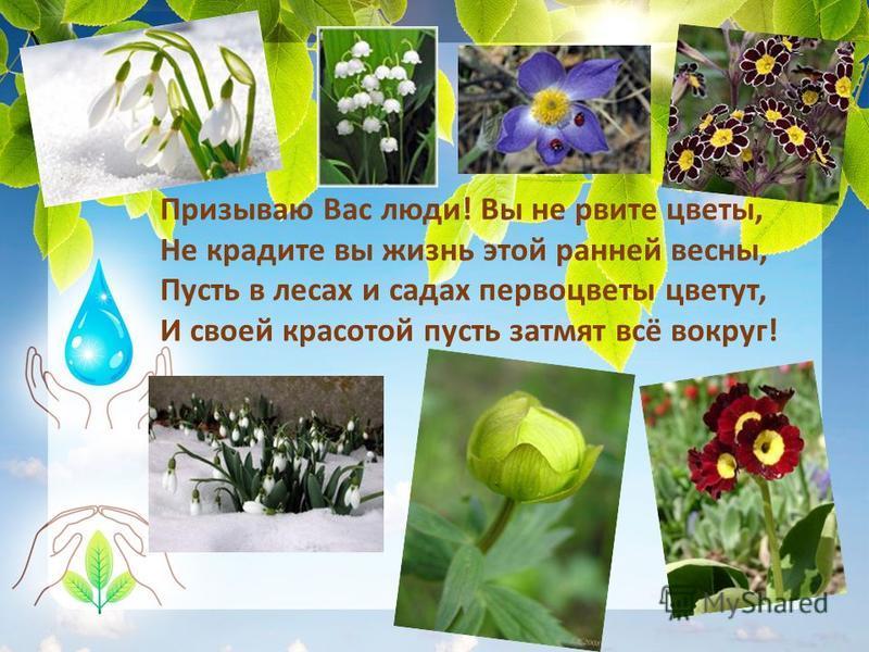 Призываю Вас люди! Вы не рвите цветы, Не крадите вы жизнь этой ранней весны, Пусть в лесах и садах первоцветы цветут, И своей красотой пусть затмят всё вокруг!