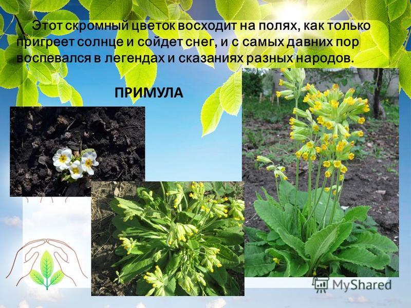 Этот скромный цветок восходит на полях, как только пригреет солнце и сойдет снег, и с самых давних пор воспевался в легендах и сказаниях разных народов. ПРИМУЛА
