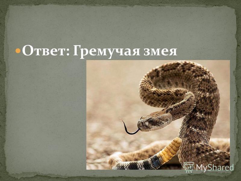 Ответ: Гремучая змея