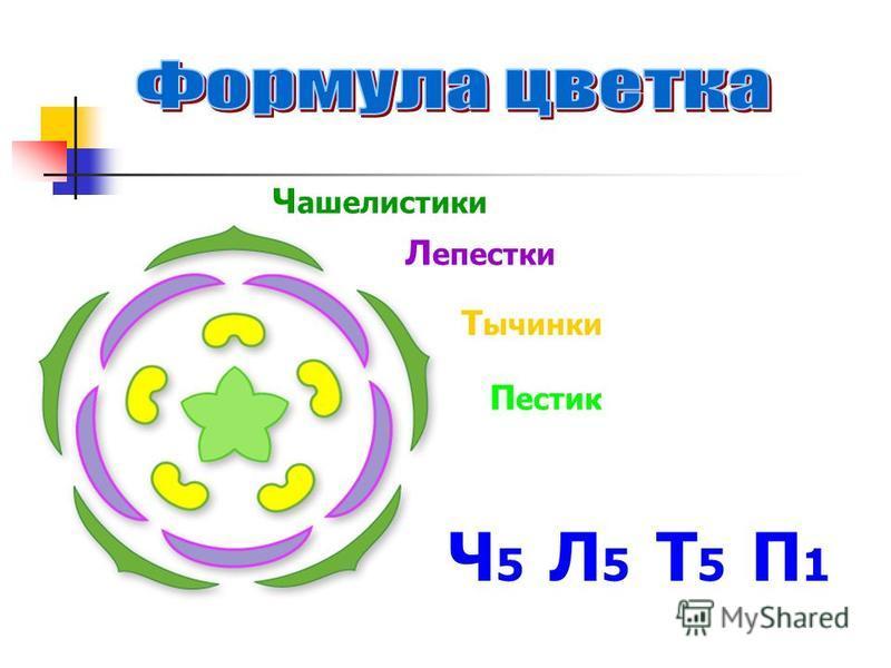 Ч 5 Л 5 Т 5 П 1 Ч ашелистики Л епестки Т ычинки П естик