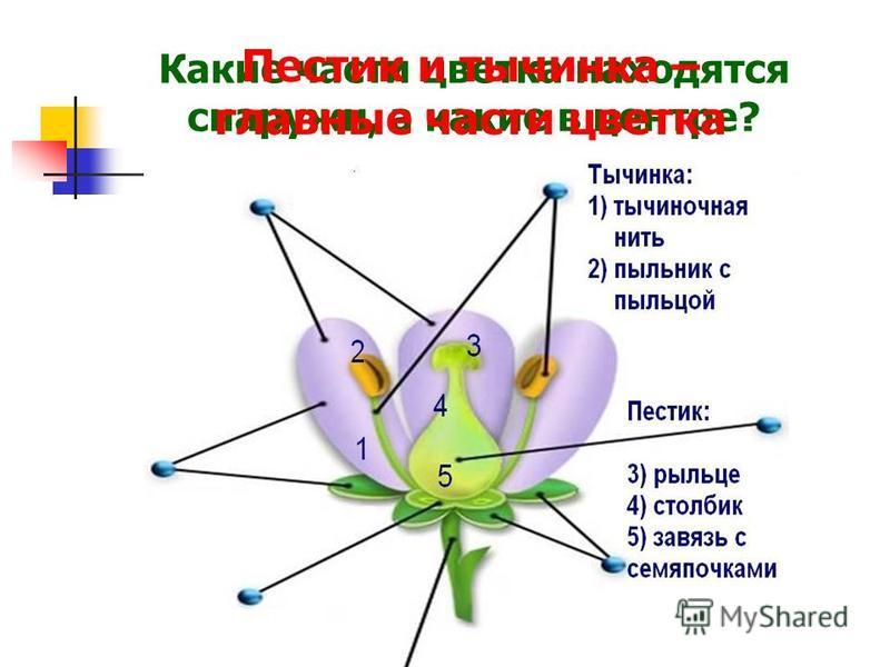Какие части цветка находятся снаружи, а какие в центре? Пестик и тычинка – главные части цветка