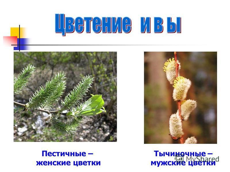 Пестичные – женские цветки Тычиночные – мужские цветки