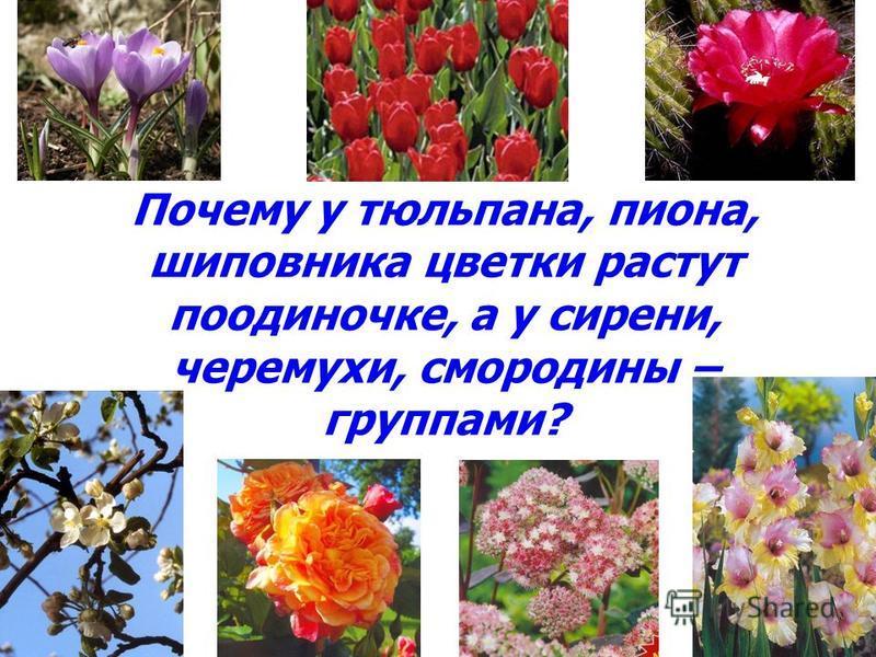 Почему у тюльпана, пиона, шиповника цветки растут поодиночке, а у сирени, черемухи, смородины – группами?