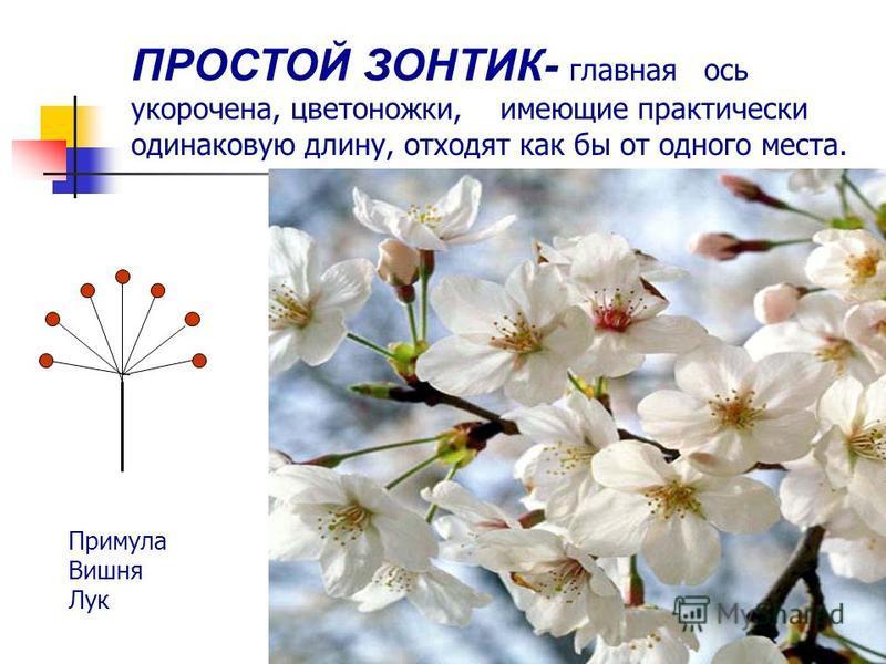ПРОСТОЙ ЗОНТИК- главная ось укорочена, цветоножки, имеющие практически одинаковую длину, отходят как бы от одного места. Примула Вишня Лук