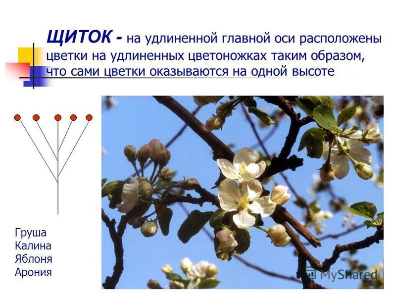 ЩИТОК - на удлиненной главной оси расположены цветки на удлиненных цветоножках таким образом, что сами цветки оказываются на одной высоте Груша Калина Яблоня Арония