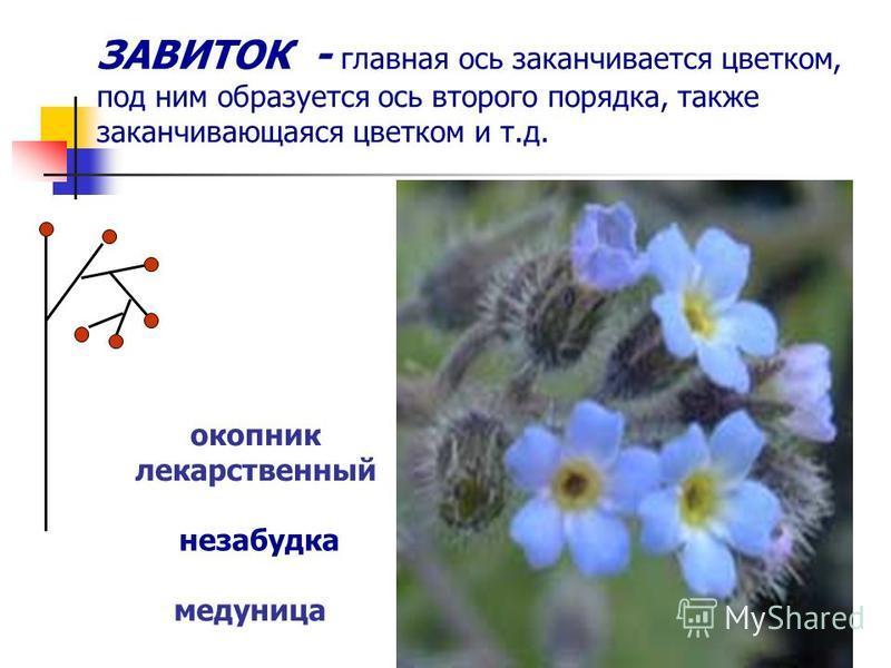 ЗАВИТОК - главная ось заканчивается цветком, под ним образуется ось второго порядка, также заканчивающаяся цветком и т.д. незабудка окопник лекарственный медуница
