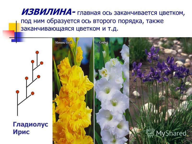 ИЗВИЛИНА- главная ось заканчивается цветком, под ним образуется ось второго порядка, также заканчивающаяся цветком и т.д. Гладиолус Ирис