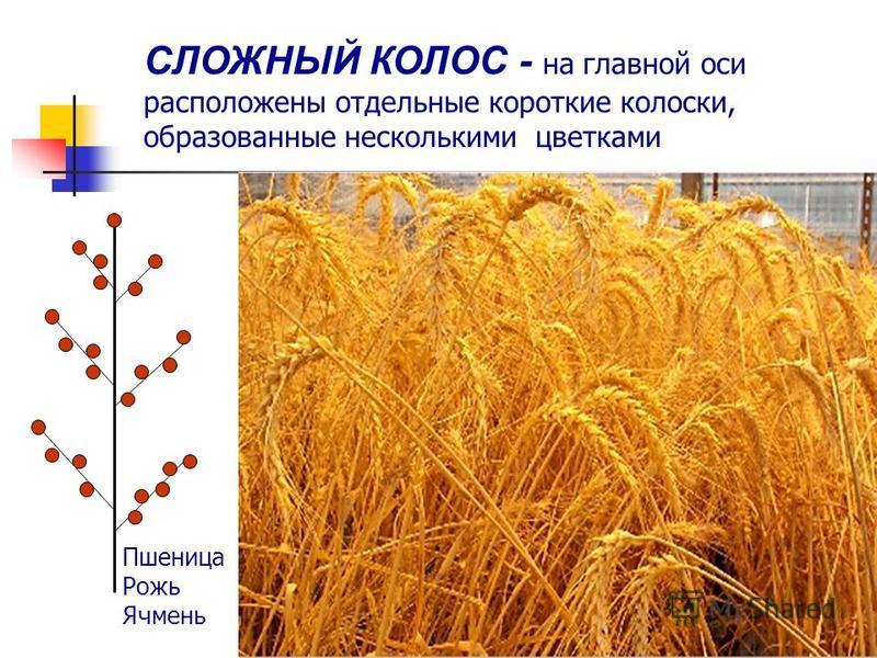СЛОЖНЫЙ КОЛОС - на главной оси расположены отдельные короткие колоски, образованные несколькими цветками. Пшеница Рожь Ячмень