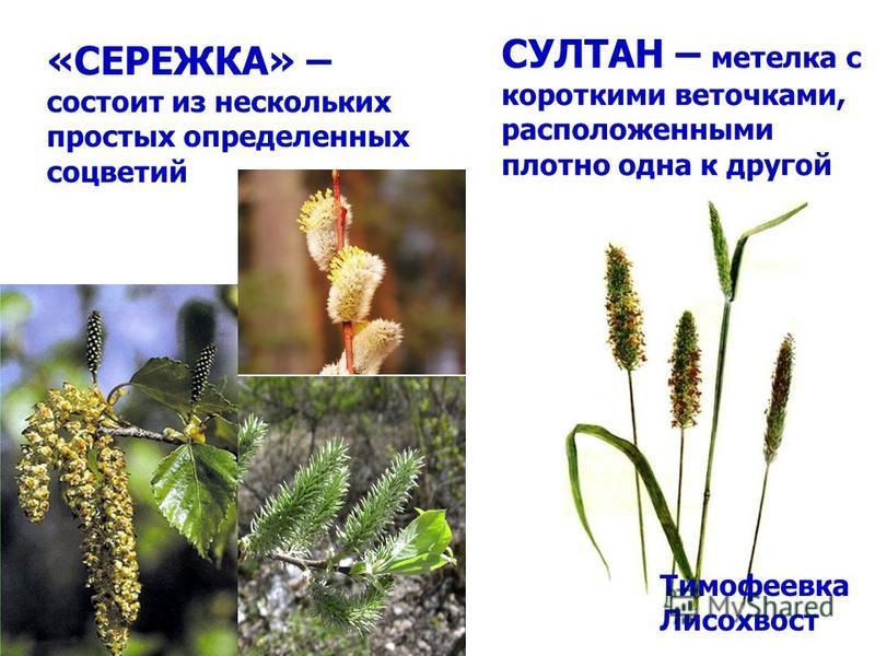 Тимофеевка Лисохвост СУЛТАН – метелка с короткими веточками, расположенными плотно одна к другой «СЕРЕЖКА» – состоит из нескольких простых определенных соцветий
