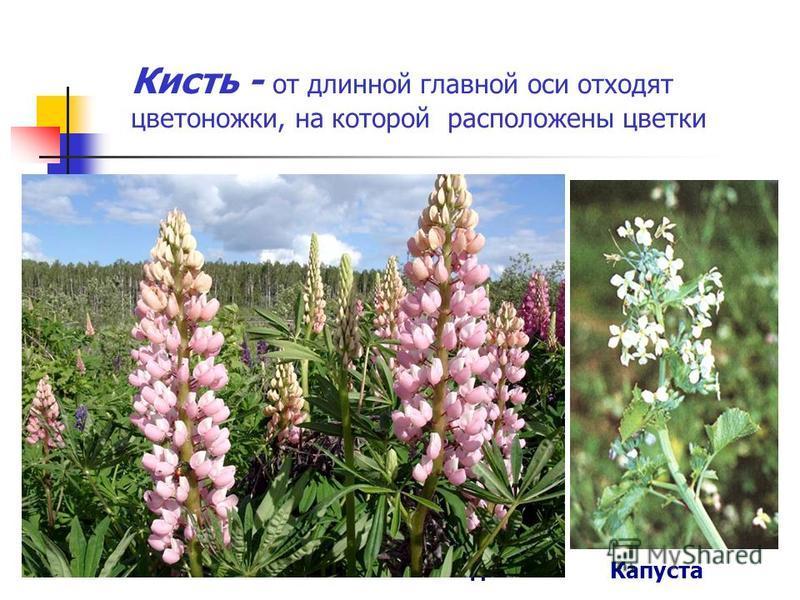 Кисть - от длинной главной оси отходят цветоножки, на которой расположены цветки цветок цветоножка главная ось Капуста Ландыш