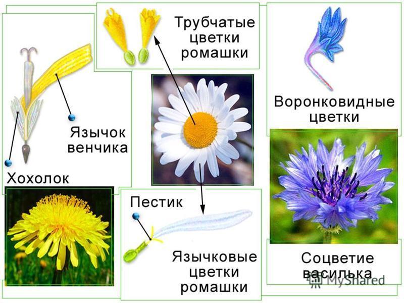Астра Бархатцы Хризантема Чертополох Лопух Полынь КОРЗИНКА - главная ось утолщена и имеет блюдцевидную форму, на ней расположены многочисленные мелкие сидячие цветки.