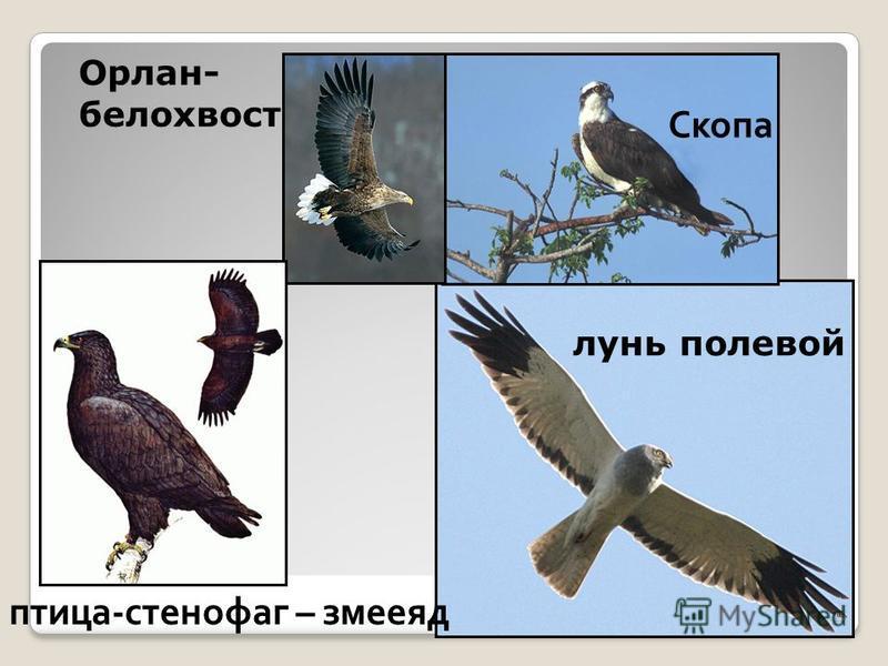 Орлан- белохвост Скопа лунь полевой птица-стенофаг – змееяд 25