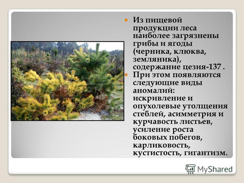 Из пищевой продукции леса наиболее загрязнены грибы и ягоды (черника, клюква, земляника), содержание цезия-137. При этом появляются следующие виды аномалий: искривление и опухолевые утолщения стеблей, асимметрия и курчавость листьев, усиление роста б