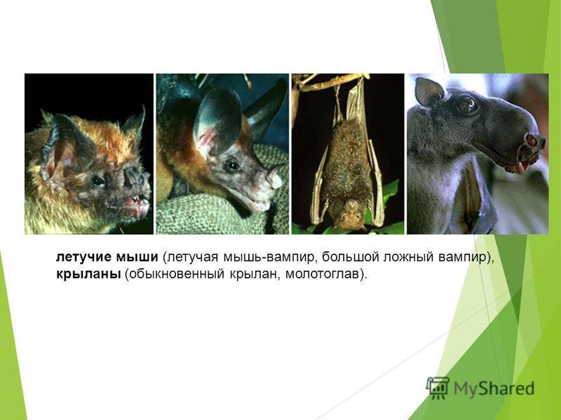 летучие мыши (летучая мышь-вампир, большой ложный вампир), крыланы (обыкновенный крылан, молотоглав).