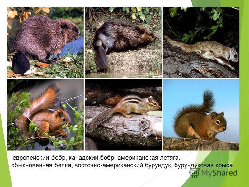 европейский бобр, канадский бобр, американская летяга. обыкновенная белка, восточно-американский бурундук, бурундуковая крыса.