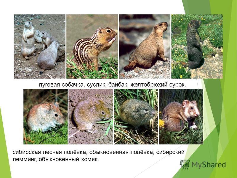 луговая собачка, суслик, байбак, желтобрюхий сурок. сибирская лесная полёвка, обыкновенная полёвка, сибирский лемминг, обыкновенный хомяк.